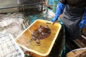 ウミガメが水揚げされました!?珍しい魚が揚がった話。