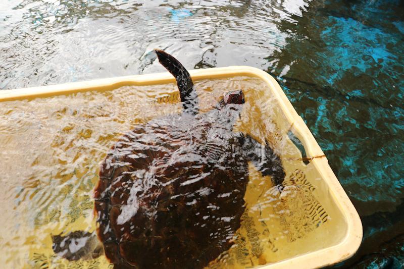 生け簀のウミガメ