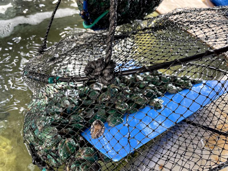 アワビの稚貝が入った網