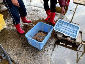 冬も大瀬戸町漁協は大賑わい!アワビの赤ちゃんもいました