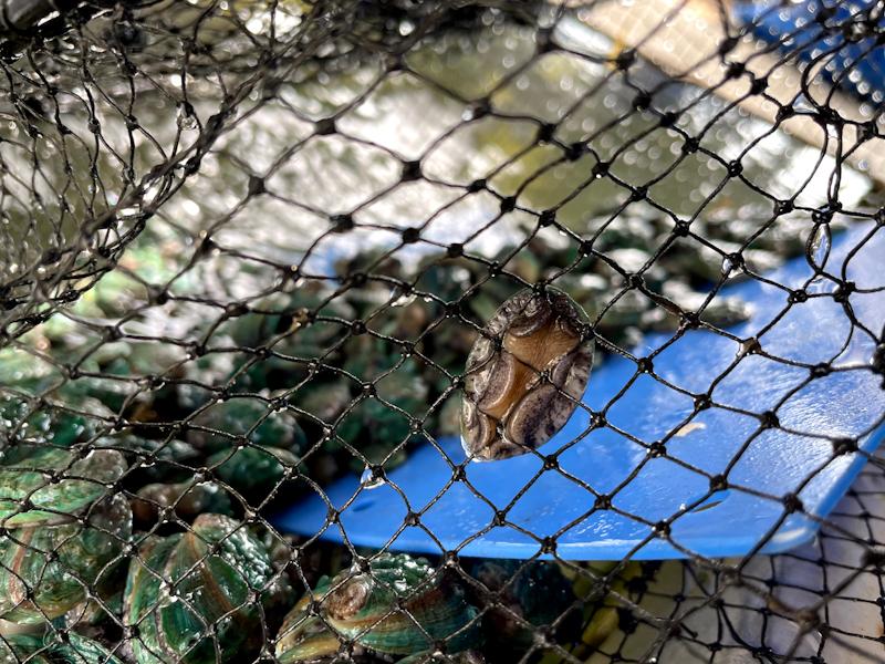 アワビの稚貝