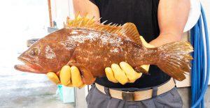 西海市でとれる!幻の魚アコウの生態に迫る