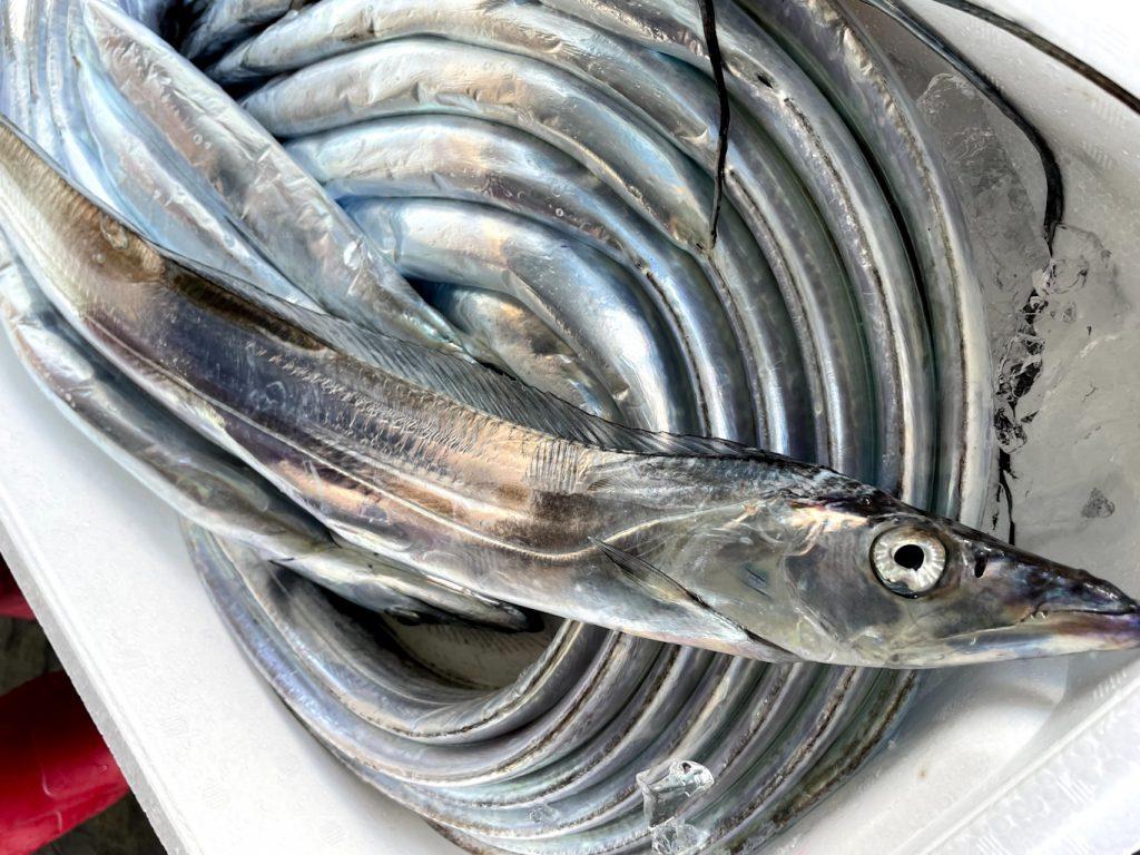 今日も大漁!太刀魚(タチウオ)ってこんな魚です
